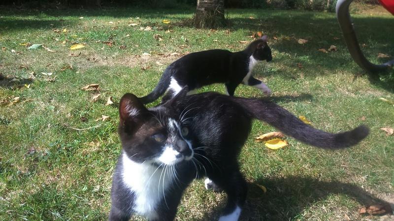 mister - Mister,  chaton mâle, noir et blanc, type européen né en avril 2016 Dsc_0810