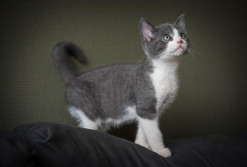 malcom - Malcom - chaton male gris et blanc - type européen né en juin 2016 Img_8128