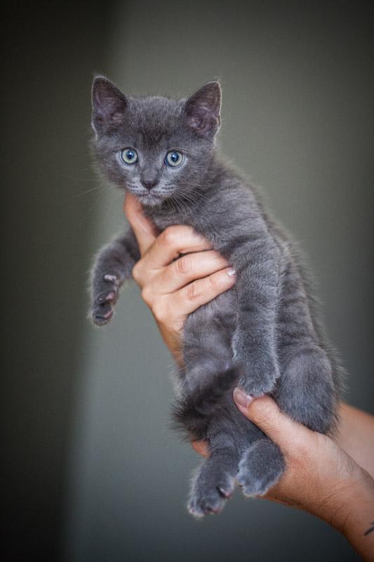 maki - Maki - male - gris - type européen -  né en juin 2016 Img_8137