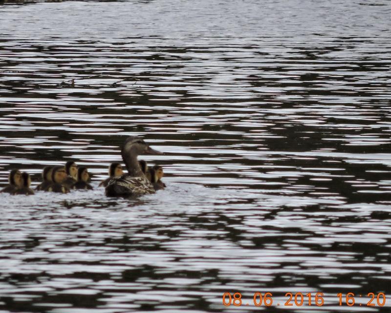 Peut on me confirmer femelle canard noir  avec ces petits  Dscn0711