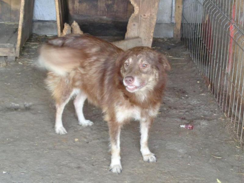 LAORA, femelle rescapée d'Oltenita du 30 avril 2015, née fin 2013, marron roux - marrainée par lilirez2 - SOS-R-SC 13442112