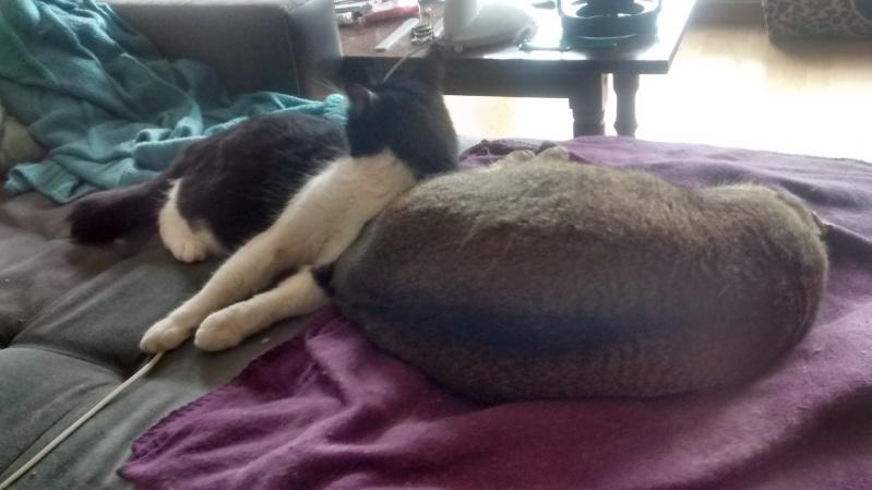 KIT-KAT chat noir et blanc 1 an FIV+ (ADPK 35) Img_2015
