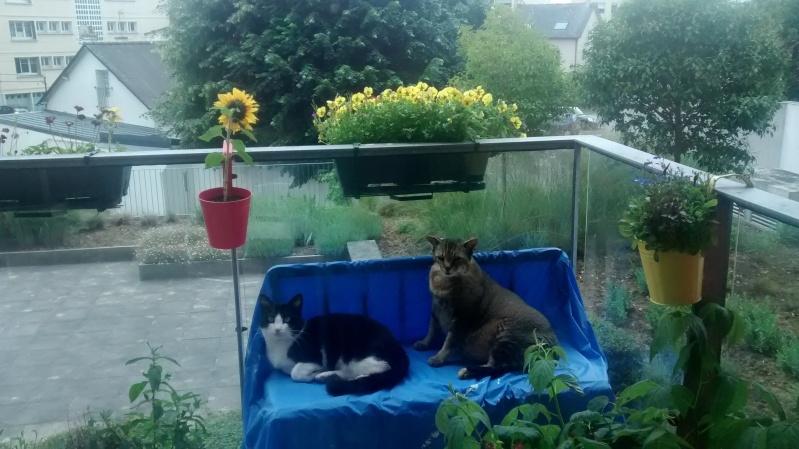 KIT-KAT chat noir et blanc 1 an FIV+ (ADPK 35) Img_2025