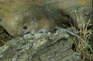House Mouse Facts & Other Species of Mice 81543210