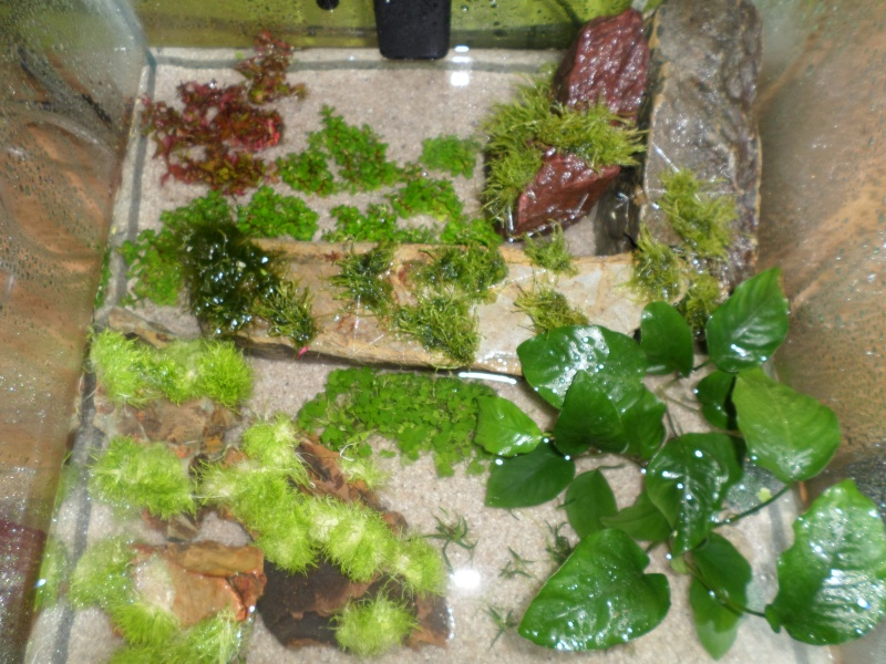 aquarium nano pour crevette Sam_2514