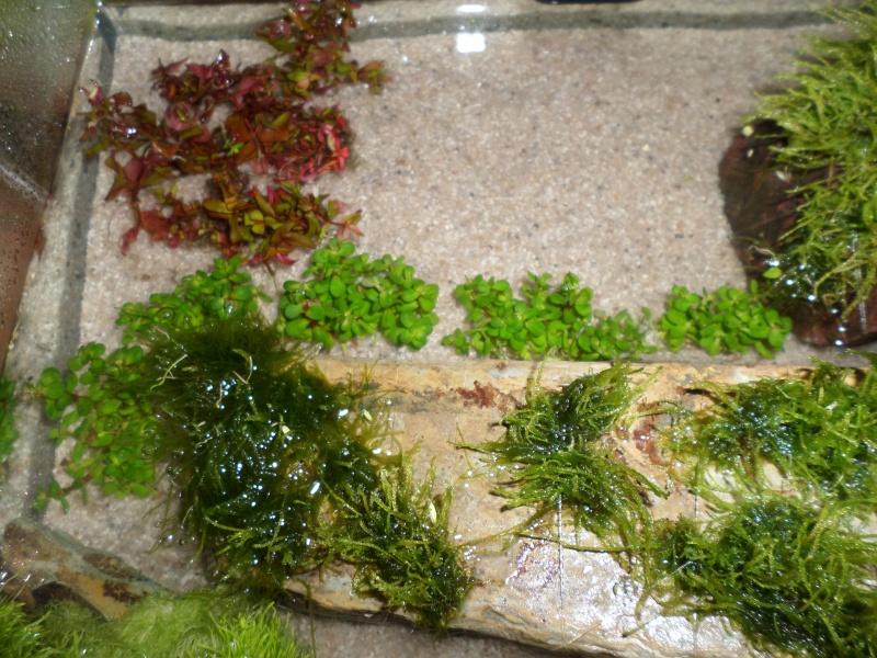 aquarium nano pour crevette Sam_2515