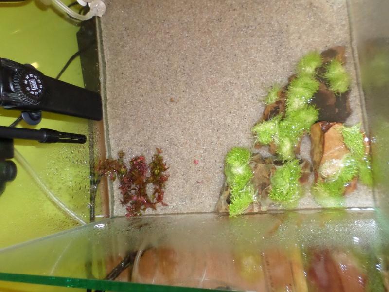 aquarium nano pour crevette Sam_2517