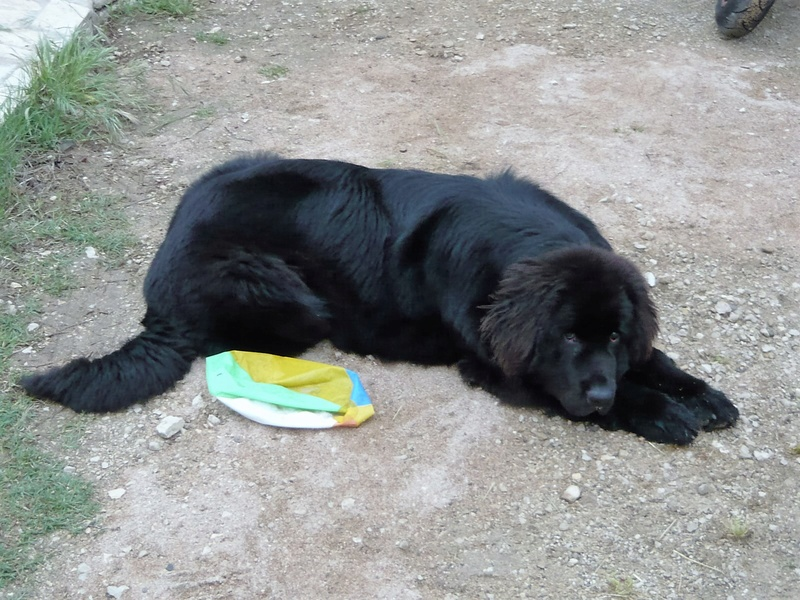 Notre chienne Louna.......60 kg P1070010