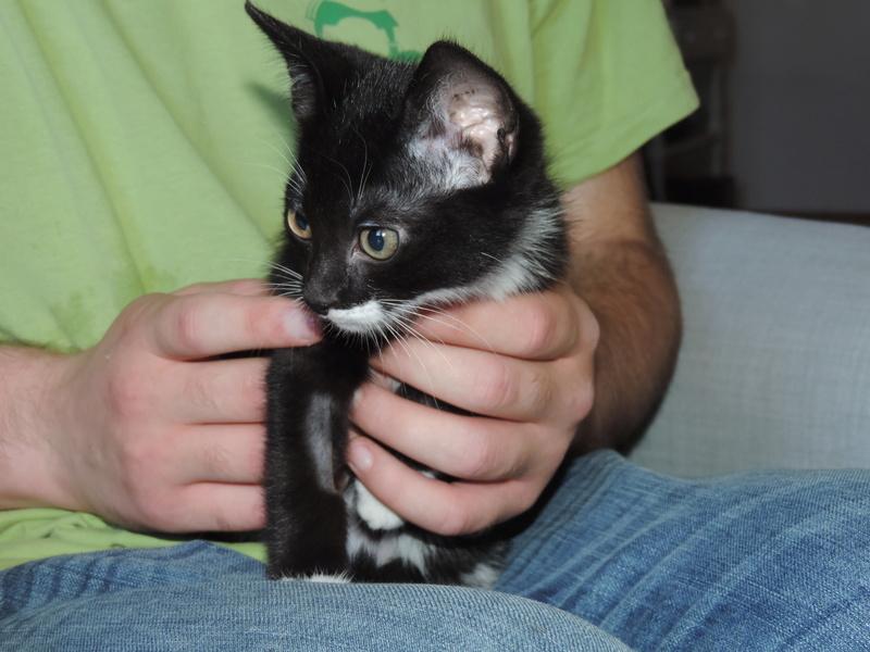 monello - Monello, chaton européen noir et blanc, né en mai 2016 Dscn5110