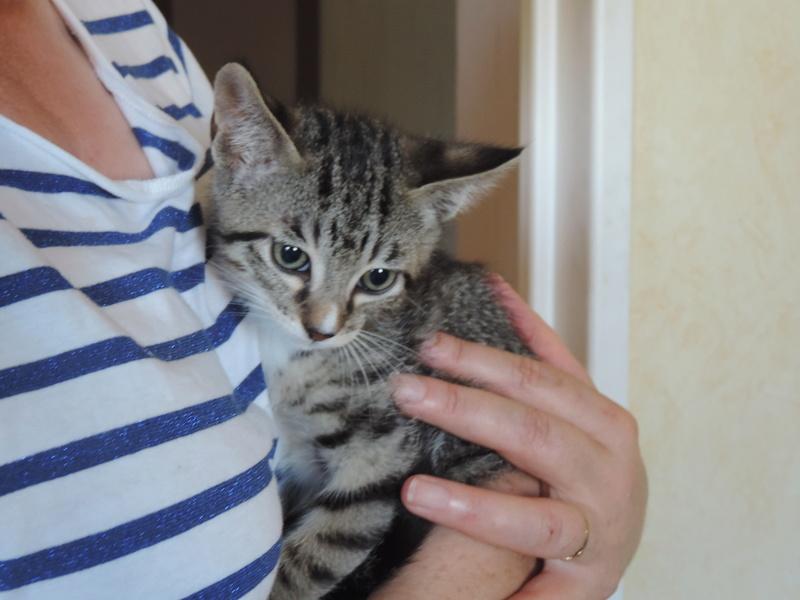 maestro - Maestro, chaton européen gris tigré aux pattes blanches, né en mai 2016 Dscn5111