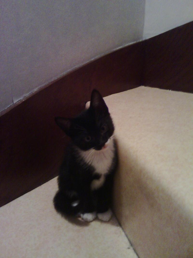 monello - Monello, chaton européen noir et blanc, né en mai 2016 Img_2015