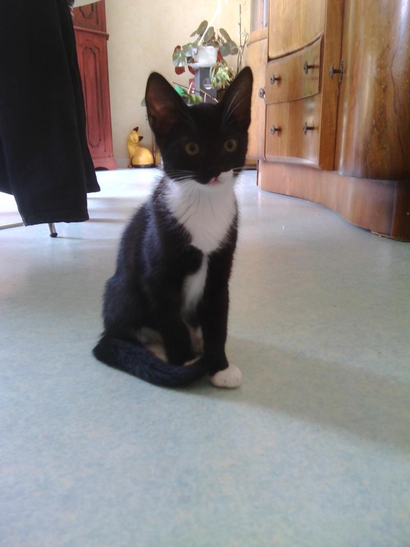 monello - Monello, chaton européen noir et blanc, né en mai 2016 Img_2023