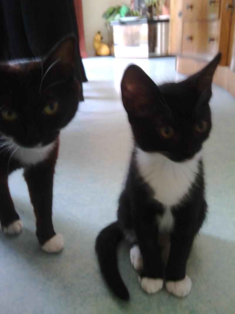 monello - Monello, chaton européen noir et blanc, né en mai 2016 Img_2024