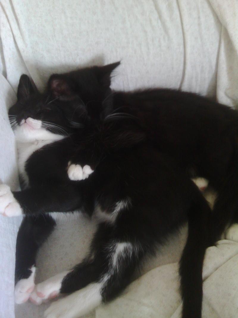 monello - Monello, chaton européen noir et blanc, né en mai 2016 Img_2025