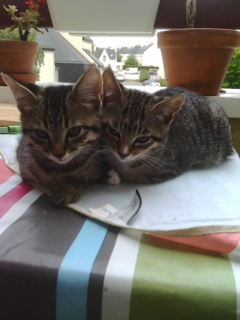maestro - Maestro, chaton européen gris tigré aux pattes blanches, né en mai 2016 Img_2026