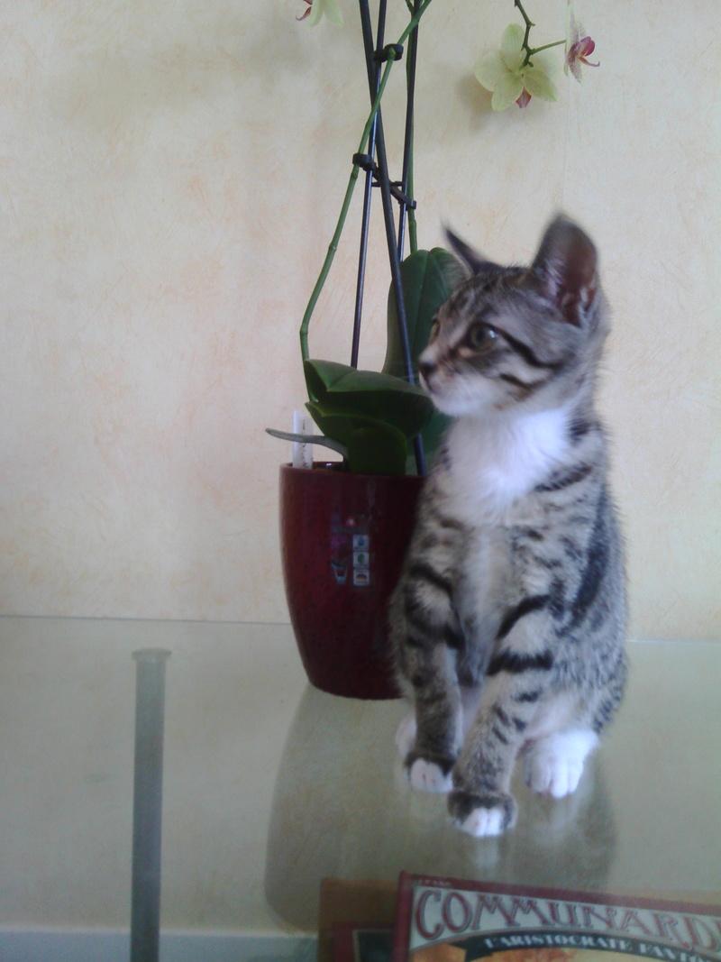 maestro - Maestro, chaton européen gris tigré aux pattes blanches, né en mai 2016 Img_2027
