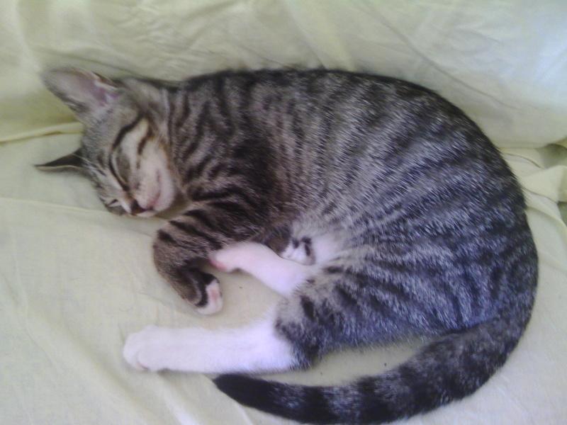 maestro - Maestro, chaton européen gris tigré aux pattes blanches, né en mai 2016 Img_2028