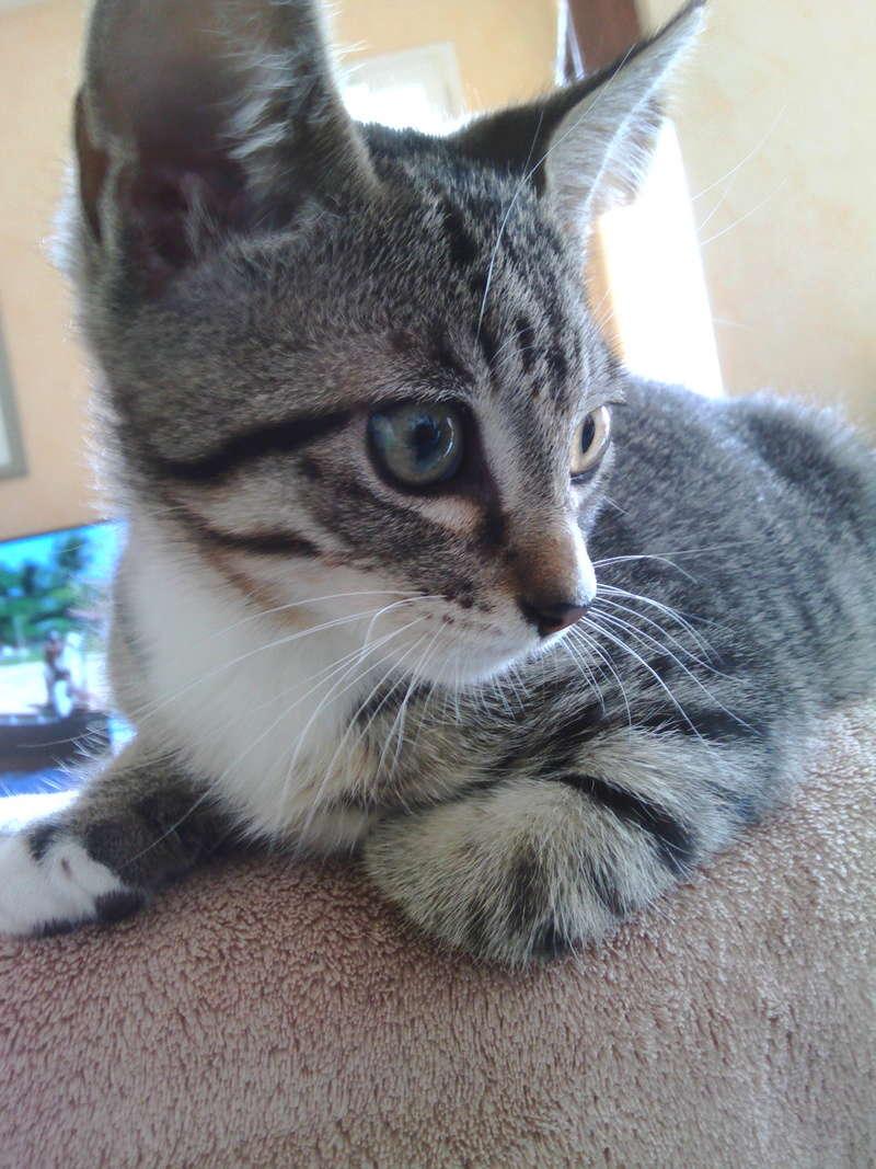 maestro - Maestro, chaton européen gris tigré aux pattes blanches, né en mai 2016 Img_2029