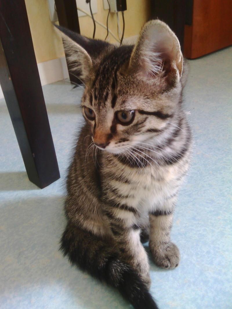 milano - Milano, chaton européen gris tigré, né en mai 2016 Img_2032