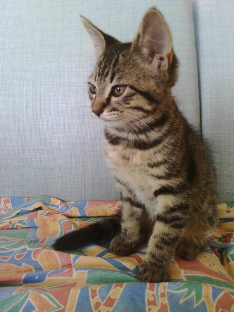 milano - Milano, chaton européen gris tigré, né en mai 2016 Img_2033