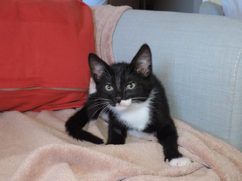 monello - Monello, chaton européen noir et blanc, né en mai 2016 Monell11