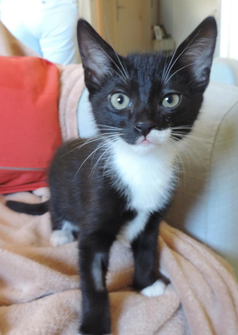 monello - Monello, chaton européen noir et blanc, né en mai 2016 Monell12