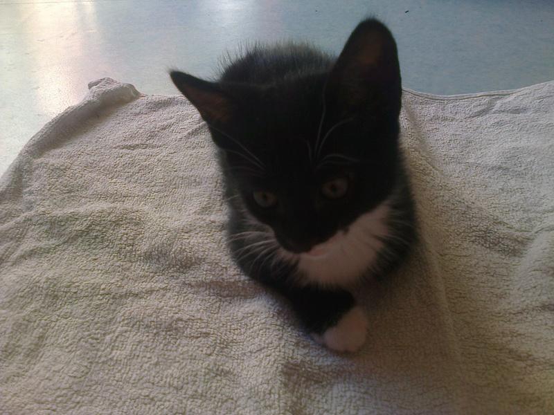 monello - Monello, chaton européen noir et blanc, né en mai 2016 Photo029