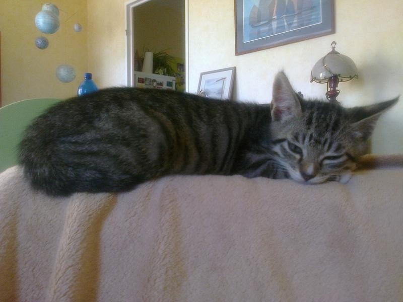 maestro - Maestro, chaton européen gris tigré aux pattes blanches, né en mai 2016 Photo030