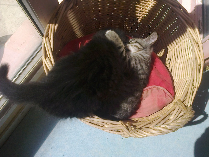 maestro - Maestro, chaton européen gris tigré aux pattes blanches, né en mai 2016 Photo031