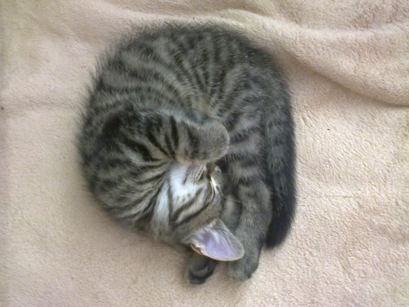 milano - Milano, chaton européen gris tigré, né en mai 2016 Photo033