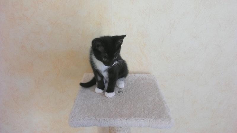 monello - Monello, chaton européen noir et blanc, né en mai 2016 Win_2010