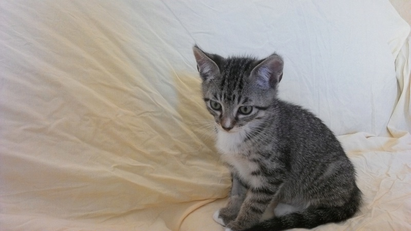maestro - Maestro, chaton européen gris tigré aux pattes blanches, né en mai 2016 Win_2014