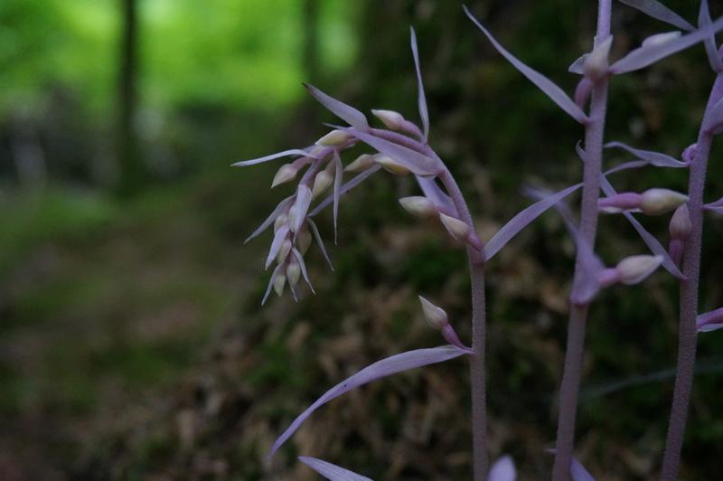 Avis de recherche : orchidées albinos - Page 3 Dsc00811
