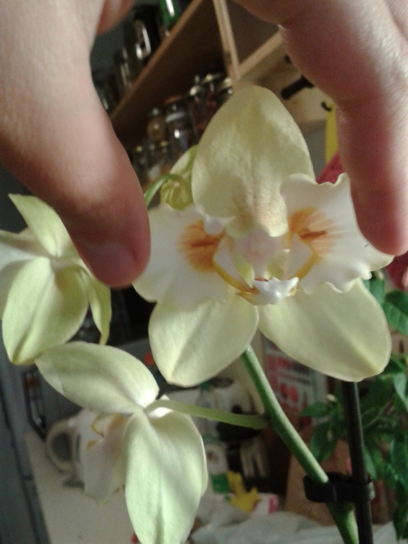 Phalaenopsis bizarre  Normal11