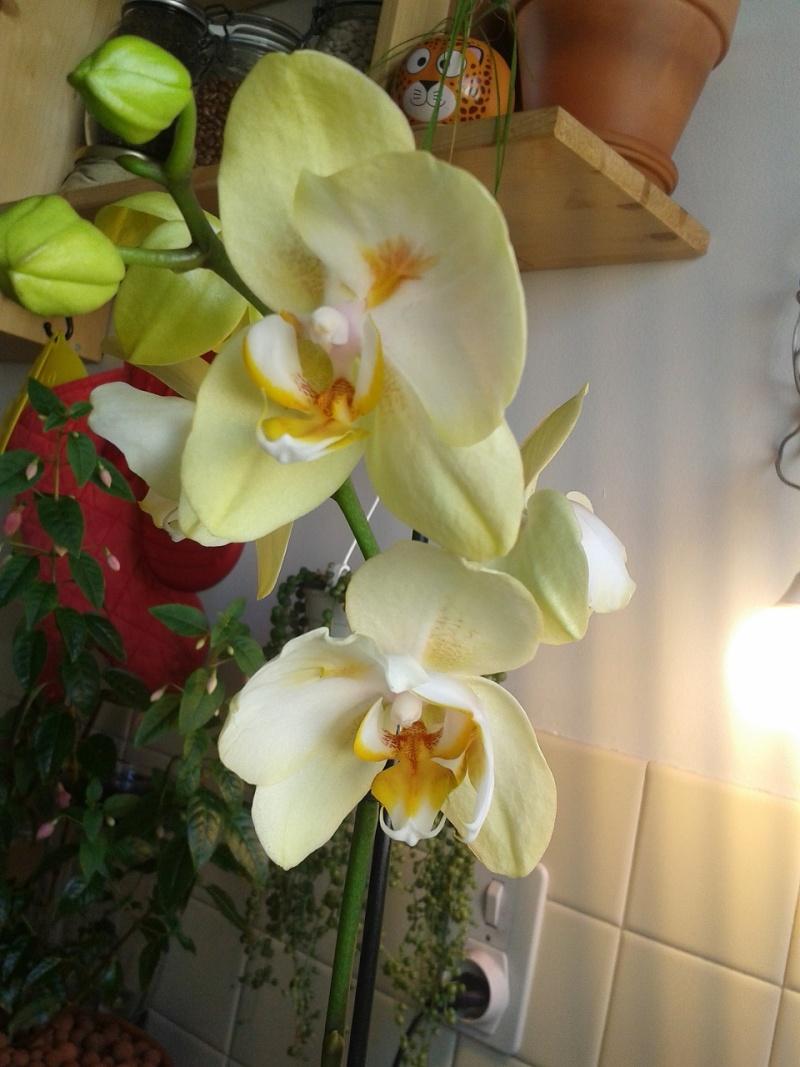 Phalaenopsis bizarre  Ytrang11