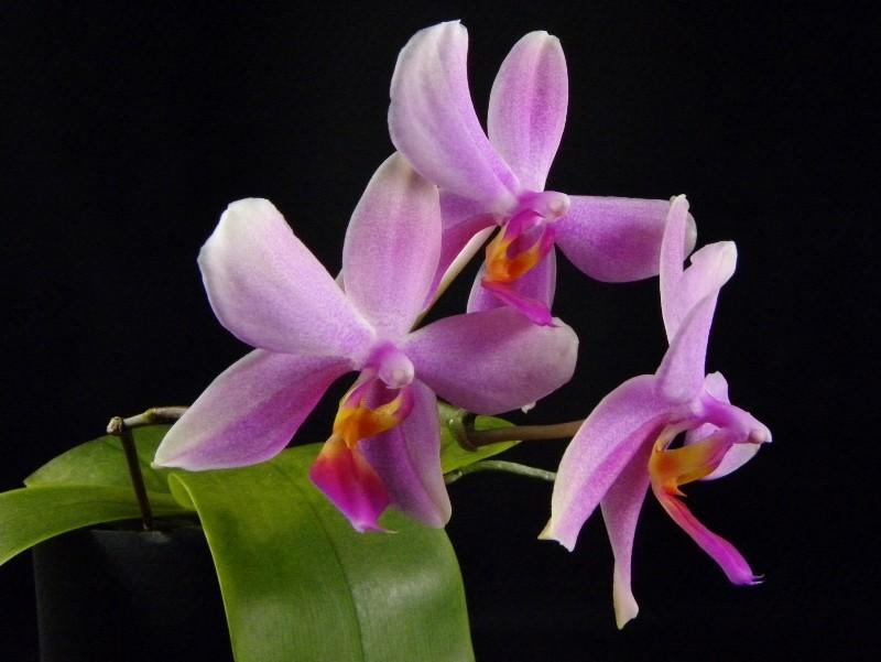 Phalaenopsis sanderiana x bellina Blue (Purple Surprise) Nr_65610