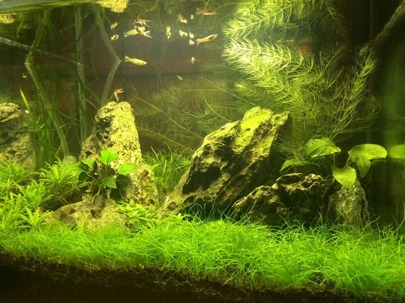 Plantes gazonnantes aquarium 300l 13493710