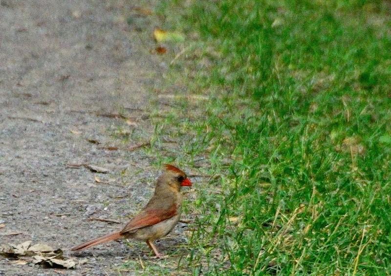 Cardinal Rouge Cardin10