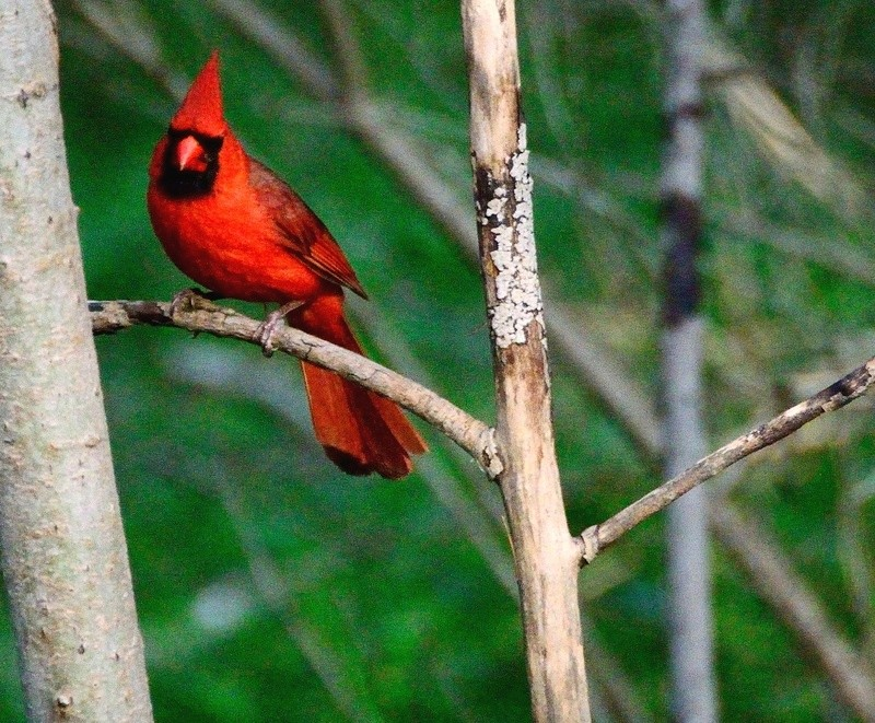 Cardinal Rouge Cardin11