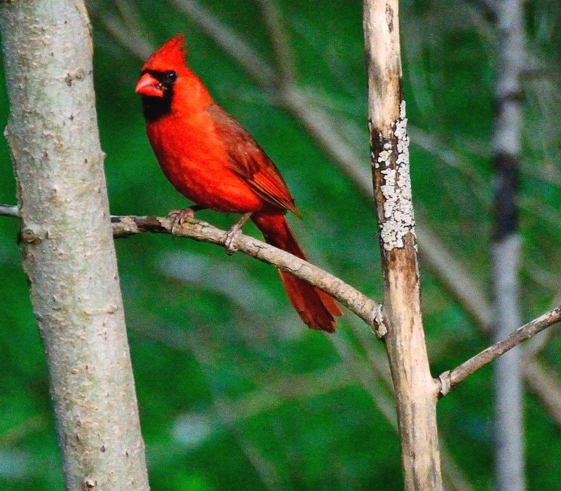 Cardinal Rouge Cardin12