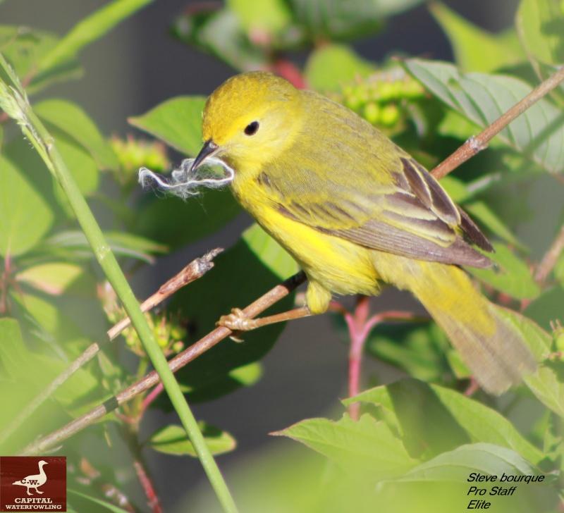 paruline jaune  Cw911