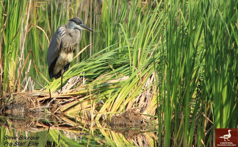 a mon tour pour le grand heron  Heron110