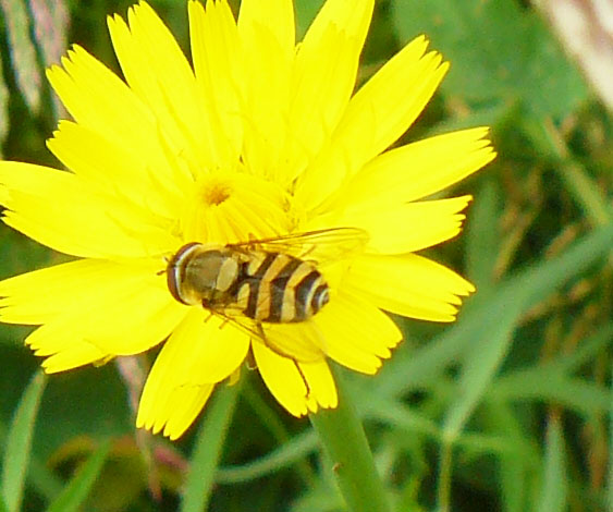 Syrphides à confirmer Syrphu10
