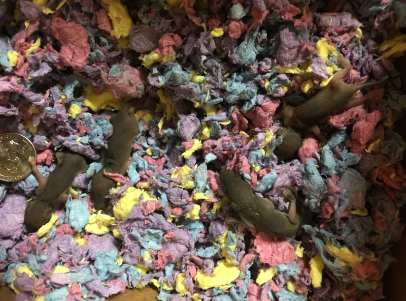 Found 4 baby mice/rats believe mother is dead Image15