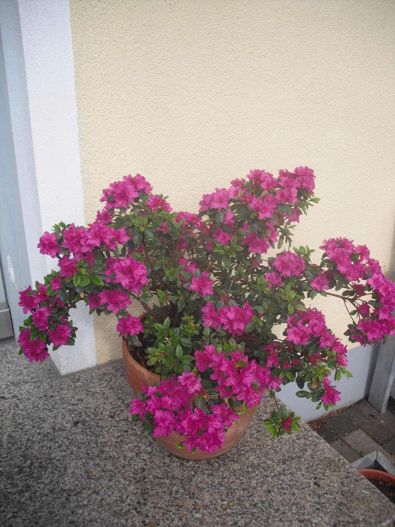Kübelpflanzen Azalee11