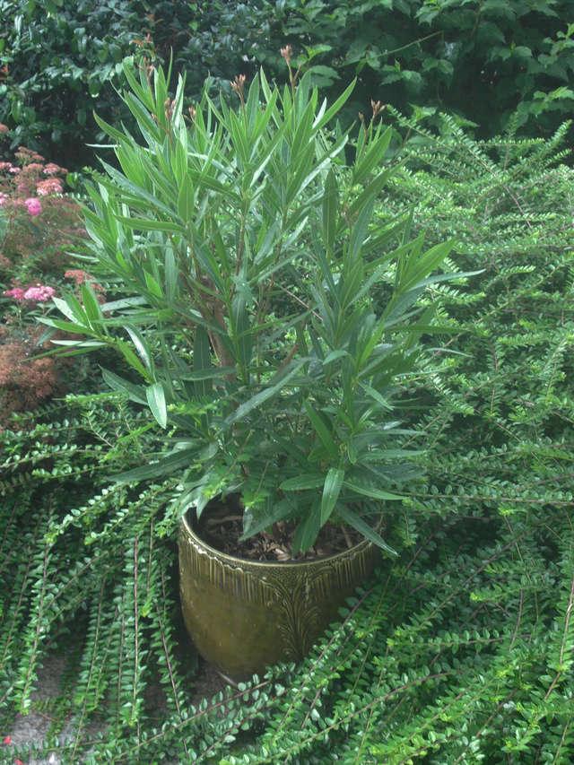 Kübelpflanzen Oleand10