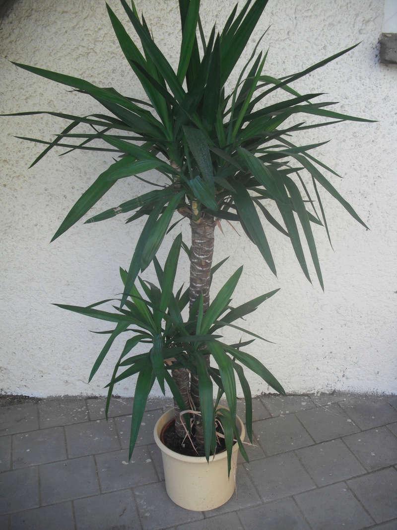 Kübelpflanzen Palme10