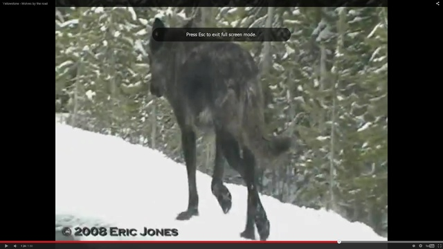 How to spot a wolf Shapeshifter ? ( UPDATED )  13682510
