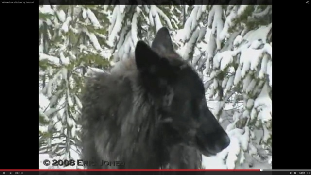 How to spot a wolf Shapeshifter ? ( UPDATED )  13940010