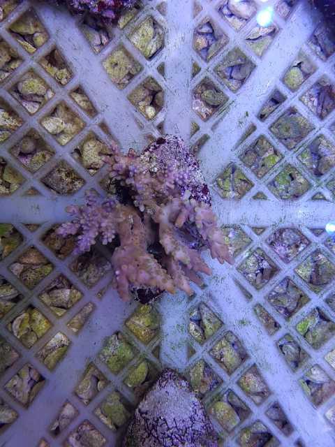 Stok ikan ,coral & garam sintetis LENTENG AQUAMARINE Image-10